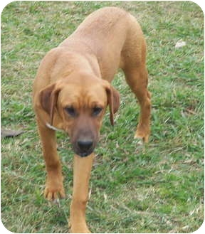 Black Mouth Cur/Rhodesian Ridgeback Mix Puppy for adoption in Westport, Connecticut - Sarge