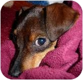 Dachshund/Chihuahua Mix Puppy for adoption in Bellflower, California - Toby