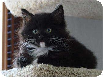 Maine Coon Kitten for adoption in Davis, California - Jethro Bodine
