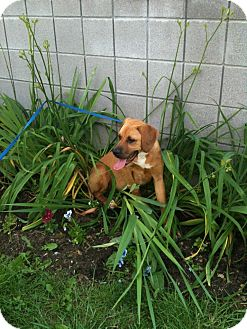 Great Dane/Boxer Mix Puppy for adoption in Rochester/Buffalo, New York - Corwin