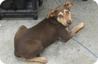 Shepherd (Unknown Type)/Doberman Pinscher Mix Dog for adoption in Bardonia, New York - Gus