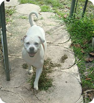 American Bulldog/Pug Mix Dog for adoption in Miami, Florida - Lucy
