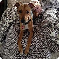 Adopt A Pet :: Sugar Baby - Hamilton, ON