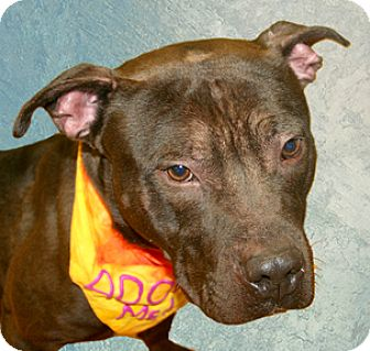 Pit Bull Terrier Mix Dog for adoption in Cincinnati, Ohio - Coffee