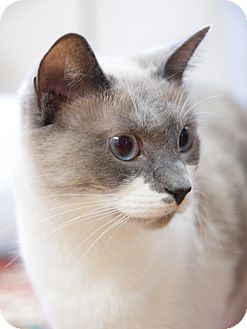 Siamese Cat for adoption in Nashville, Tennessee - Kayla