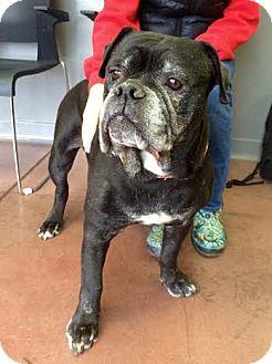 Bulldog/Boxer Mix Dog for adoption in Philadelphia, Pennsylvania - SPIKE!