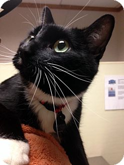 Domestic Shorthair Cat for adoption in Las Vegas, Nevada - Carlos