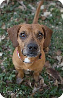 Beagle/Dachshund Mix Dog for adoption in Drumbo, Ontario - Denver