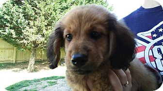 Dachshund Mix Puppy for adoption in Forest Hill, Maryland - Alex