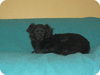 Tibetan Spaniel Mix Dog for adoption in Ridgway, Colorado - Cherry