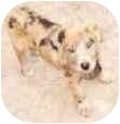 Catahoula Leopard Dog Mix Puppy for adoption in Tahlequah, Oklahoma - Brecken