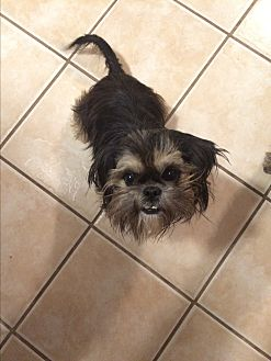 Shih Tzu/Brussels Griffon Mix Dog for adoption in Jennings, Oklahoma - Corbin