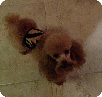 Poodle (Toy or Tea Cup) Dog for adoption in Mount Royal, New Jersey - Rickie
