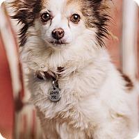 Adopt A Pet :: Paloma - Portland, OR