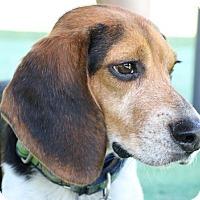 Adopt A Pet :: Sarge - Houston, TX