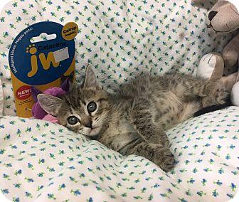 Domestic Shorthair Kitten for adoption in Montclair, California - LuLu