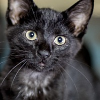 Adopt A Pet :: Batman - Chicago, IL