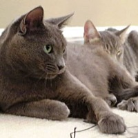 Russian Blue Cat for adoption in Columbus, Ohio - Sophie  **COURTESY POST**
