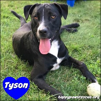 Labrador Retriever/American Staffordshire Terrier Mix Dog for adoption in South Plainfield, New Jersey - Tyson