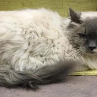 Adopt A Pet :: Miss Rose - Tangent, OR
