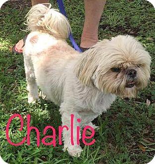 Shih Tzu Mix Dog for adoption in Metairie, Louisiana - Charlie Sheen