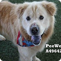 Adopt A Pet :: Pee Wee A4964212 @ Castaic - Beverly Hills, CA