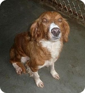 Setter (Unknown Type)/Spaniel (Unknown Type) Mix Dog for adoption in Ashland, Virginia - Pippin-ADOPTED!!!