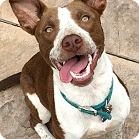 Adopt A Pet :: Bella - Boulder, CO