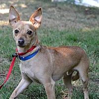 Chihuahua Mix Dog for adoption in Portland, Oregon - Toto