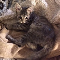Domestic Shorthair Kitten for adoption in Woodland Hills, California - Thomas