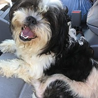 Adopt A Pet :: Doris - Cute Shih Tzu Girl - Seattle, WA