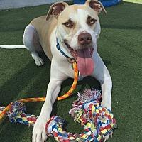 Adopt A Pet :: A. J. - Vista, CA