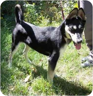 Shepherd (Unknown Type)/Husky Mix Dog for adoption in Overland Park, Kansas - Elia