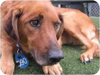 Golden Retriever Mix Dog for adoption in Vista, California - Wilma