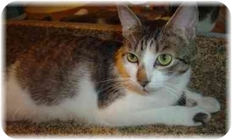 Domestic Shorthair Cat for adoption in Naples, Florida - Demi