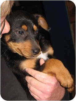 German Shepherd Dog Mix Puppy for adoption in Cincinnati, Ohio - Deuce & Domino