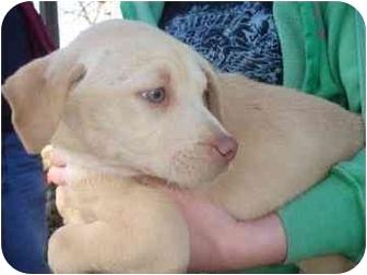 Labrador Retriever/Shepherd (Unknown Type) Mix Puppy for adoption in Old Bridge, New Jersey - Bella