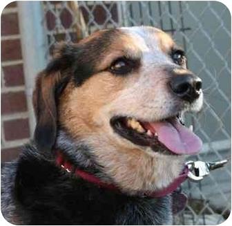 Australian Cattle Dog/Beagle Mix Dog for adoption in Berea, Ohio - Jake