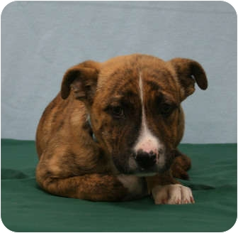 Boxer/Shepherd (Unknown Type) Mix Puppy for adoption in Westminster, Colorado - YAMAHA