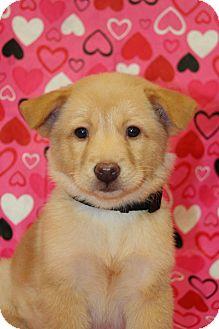 Golden Retriever Mix Puppy for adoption in Westminster, Colorado - Margarita