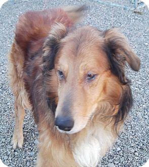 Collie/Golden Retriever Mix Dog for adoption in Coudersport, Pennsylvania - MAXON
