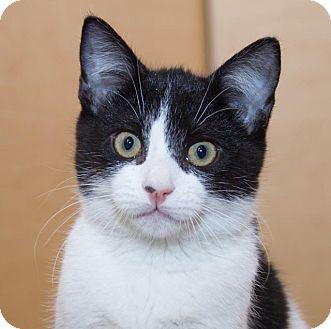 Domestic Shorthair Kitten for adoption in Irvine, California - Cory
