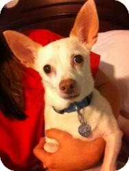 Chihuahua Mix Dog for adoption in Proctorville, Ohio, Ohio - Tilly