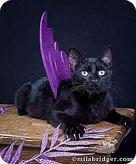 Domestic Shorthair Cat for adoption in Naples, Florida - Raisen