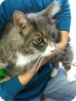 Domestic Longhair Cat for adoption in Riverhead, New York - Sebastian
