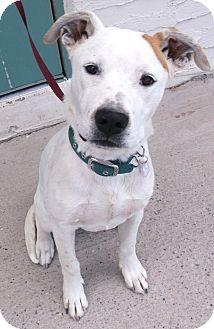 Labrador Retriever/Pit Bull Terrier Mix Puppy for adoption in Chino Valley, Arizona - Winston