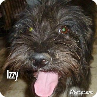 Terrier (Unknown Type, Medium) Mix Puppy for adoption in Shirley, New York - IZZY