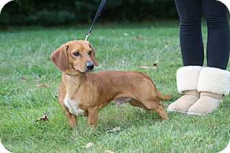 Dachshund Mix Dog for adoption in West Milford, New Jersey - COOPER- LAP DOG!
