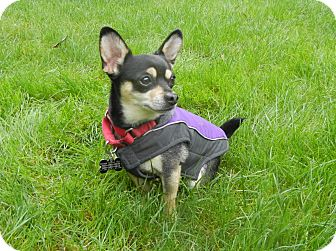Chihuahua Mix Dog for adoption in Salem, Oregon - Monty