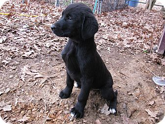 Great Pyrenees/Labrador Retriever Mix Puppy for adoption in Hartford, Connecticut - Adian
